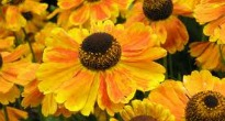picture of helenium