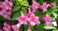 picture of weigela