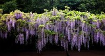 picture of wisteria
