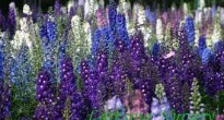 picture of delphinium