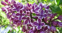 picture of syringa