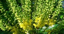 picture of mahonia