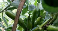 picture of Martock Bean