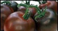 picture of tomato 'Black Russian'