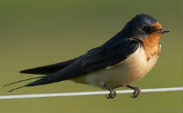 picture of Swallow
