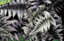 picture of athyrium niponicum
