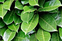 picture of laurel leaves