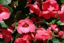 picture of escallonia