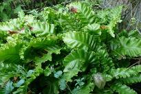 picture of Asplenium scolopendrium