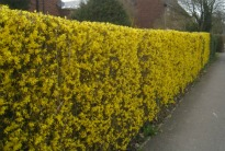 picture of forsythia hedge