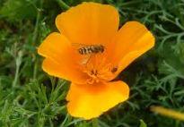 picture of eschscholzia californica
