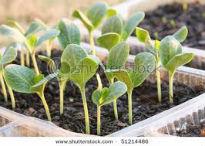 picture of vegetable seedlings