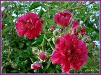 picture of Coronation Rose