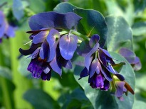 picture of cerinthe major purpurascens