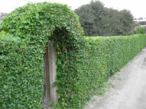 picture of hedging