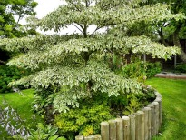 picture of cornus alternifolia 'argentea'