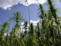 picture of hemp crop