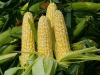 picture of sweetcorn