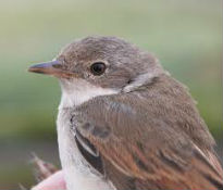 picture of Whitethroat