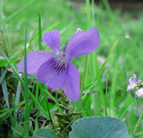 picture of Common Dog Violet