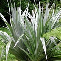 picture of Astelia chathamica 'Silver Spear'