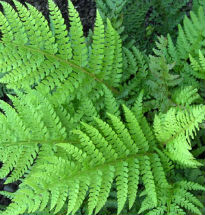 picture of Polystichum setiferum
