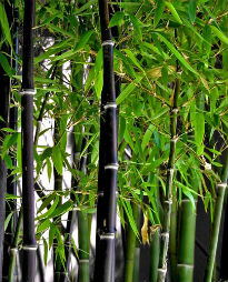 picture of Phyllostachys nigra
