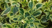 picture of Euonymus radicans