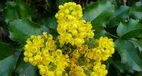picture of Mahonia aquifolium