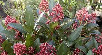picture of Skimmia japonica
