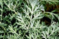 photo of Artemisia absinthium 'Lambrook Silver'
