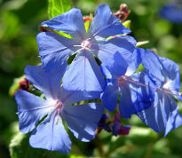 picture of ceratostigma willmottianum 'Forest Blue'