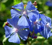 picture of ceratostigma willmottianum 'Forest Blue'