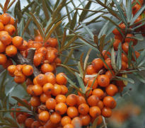 picture of Hippophae rhamnoides