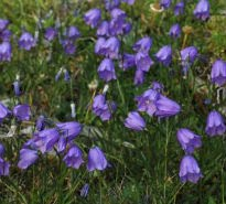 picture of harebell