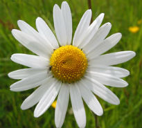 picture of ox-eye daisy