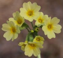 picture of oxlip