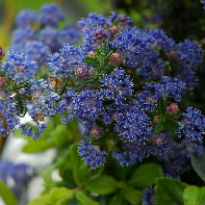 picture of ceanothus 'Puget Blue'