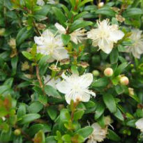picture of myrtus communis 'Tarentina'