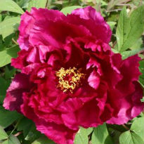 picture of paeonia suffruticosa 'Cardinal Vaughan'
