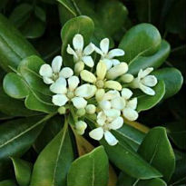 picture of pittosporum tobira
