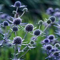 picture of Eryngium planum 'Blauer Zwerg'