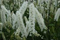 picture of cimicifuga 'white pearl'