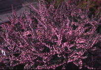 picture of Calluna 'H.E. Beale'