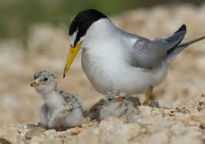 picture of terns on nest