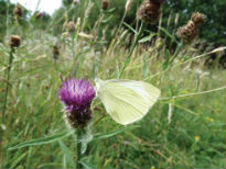 picture of white butterfly on knapweed