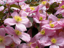 picture of Clematis montana 'Rubens'