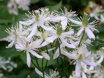 picture of Clematis terniflora