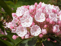picture of Kalmia latifolia