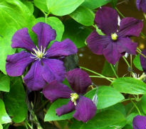 picture of Clematis 'Etoile Violette'